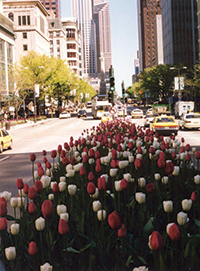 Clarence Davids & Company begins planting on Michigan Avenue